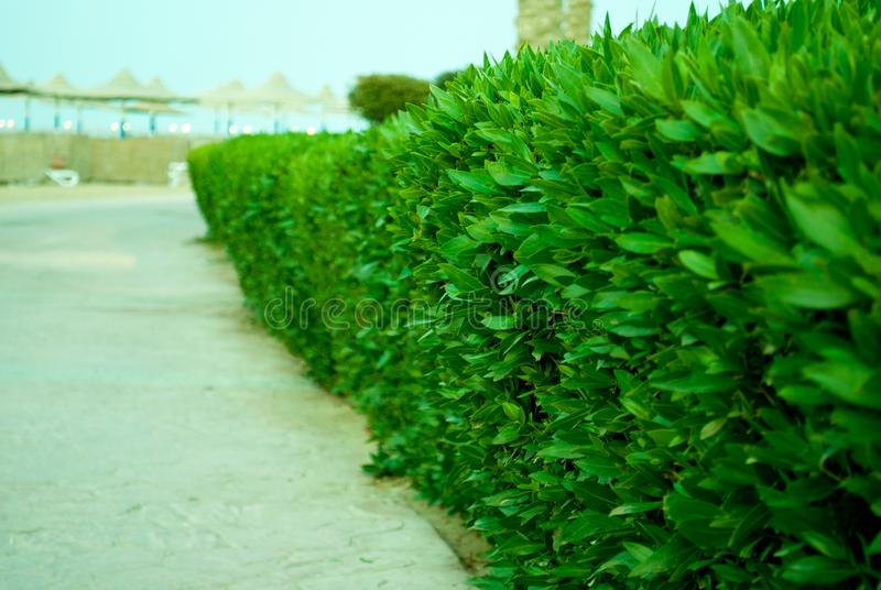 Buxus green bush track to sand beach. Green boarder of stone track. Buxus on the road to sea. stock photography