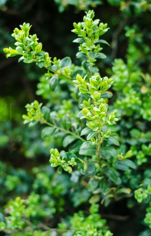 Buxus sempervirens stock fotografie