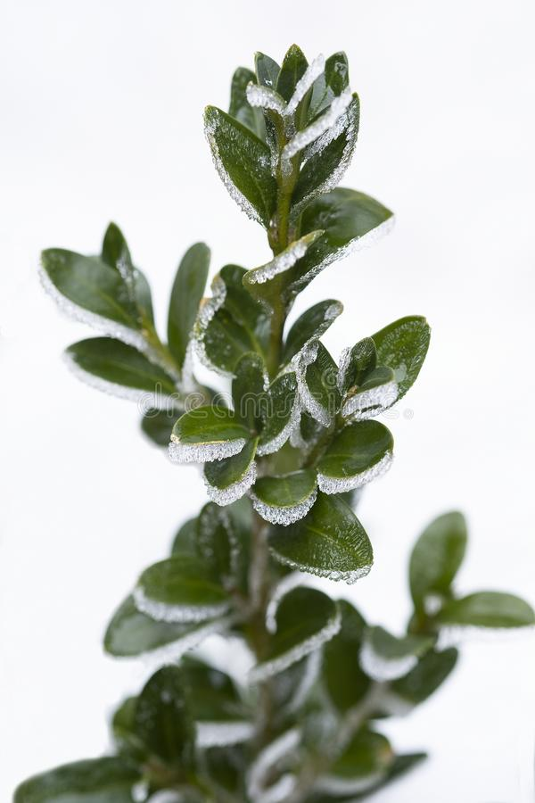 Buxus sempervirens.Evergreen boxwood Bush on a white background. Leaves of the plant in a frosty picture royalty free stock image