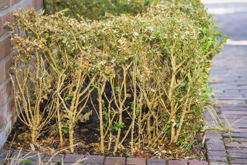 Buxus zerstört durch das Kastenbaum-Mottengleiskettenfahrzeug, Cydalima-perspectalis stockfotos
