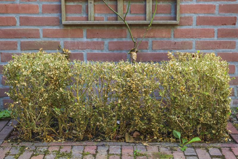 Buxus zerst?rt durch das Kastenbaum-Mottengleiskettenfahrzeug, Cydalima-perspectalis lizenzfreie stockfotos