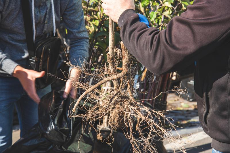 Buyer and seller pack the roots of a young tree stock photo