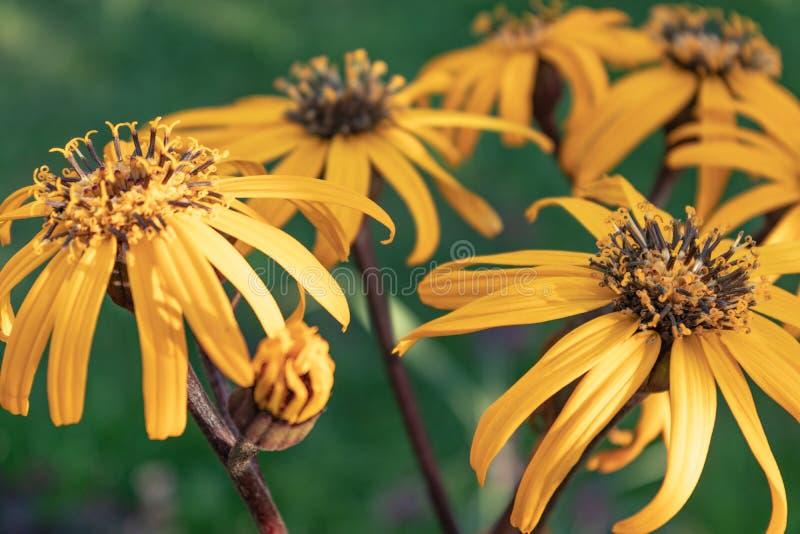 Buzulnik dentate variety Desdemona yellow flowers with long petals Ligularia dentata Desdemona. Decorative perennials of the aster royalty free stock photo