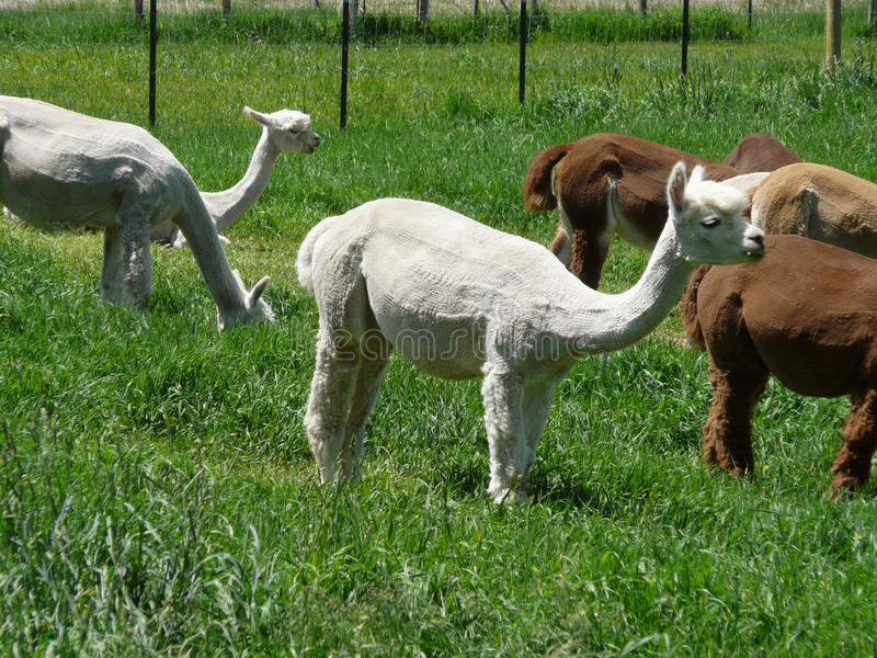 Download Buzz Cuts stock photo. Image of clipped, livestock, llama - 27559310