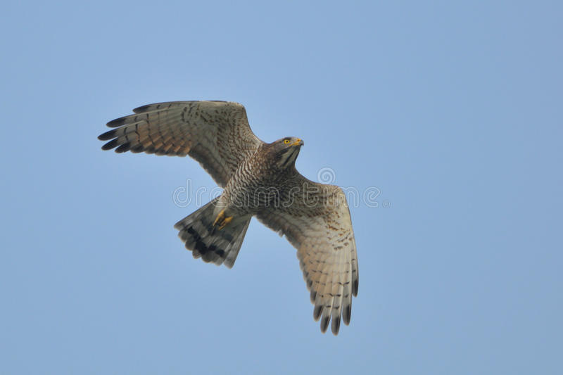 buzzard смотрел на серый цвет летания стоковое изображение rf
