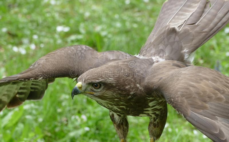 Buzzard photo stock