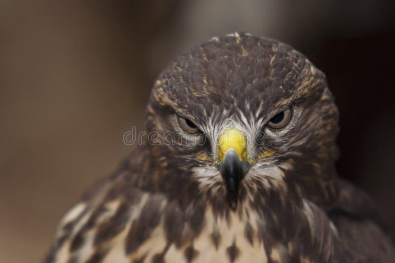 Download Buzzard stock photo. Image of common, beak, wild, prey - 28911610