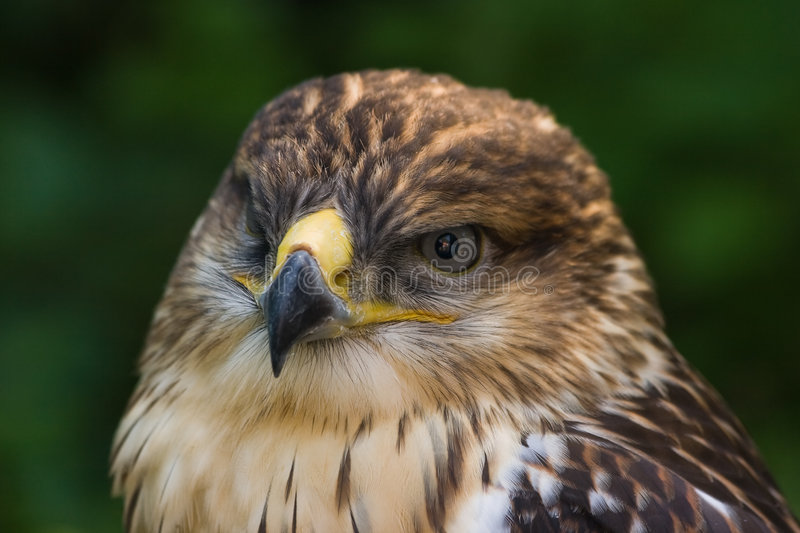 Buzzard. Sitting in the shadow and looking royalty free stock photos