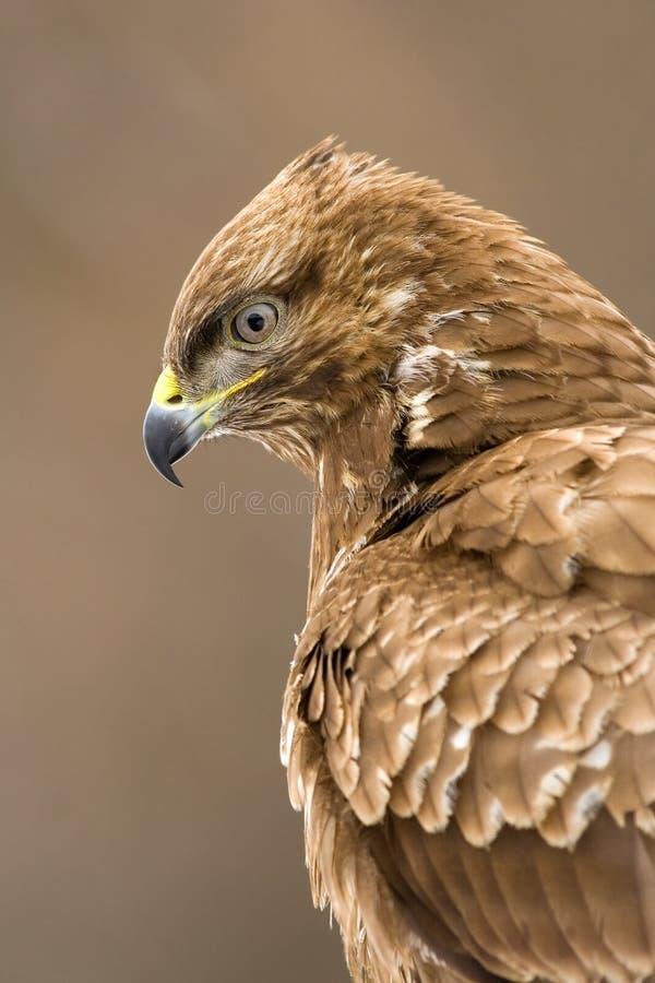 Download Buzzard image stock. Image du endangered, oeil, proie - 8654465
