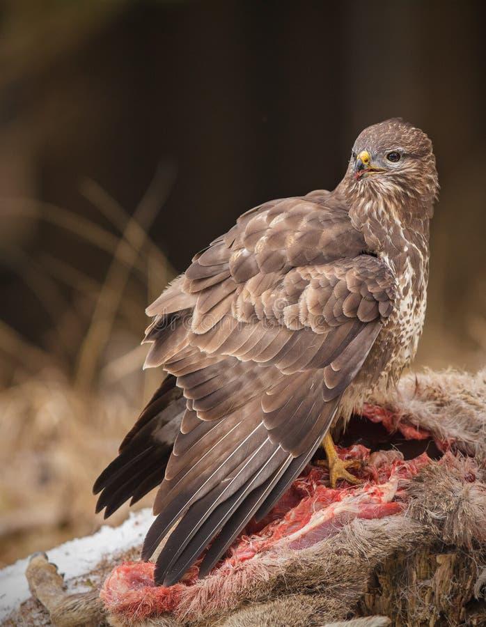 Buzzard alimentant sur la carcasse de cerfs communs photos stock