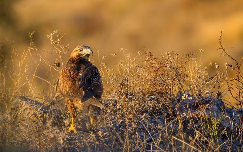 Buzzard aux jambes longues sous le coucher de soleil