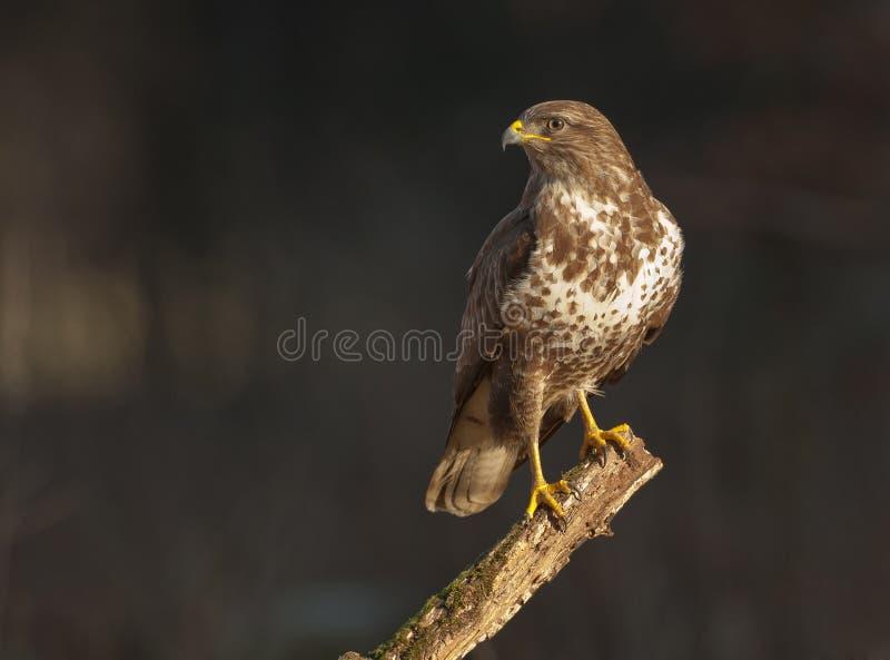 Buzzard on a branch