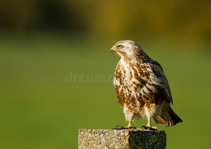 Download Buzzard ( buteo buteo ) stock image. Image of feather - 21866569