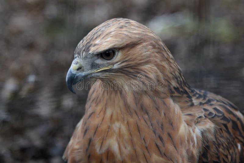 Buzzard buteo zbliżył ptaka portretowego obraz stock