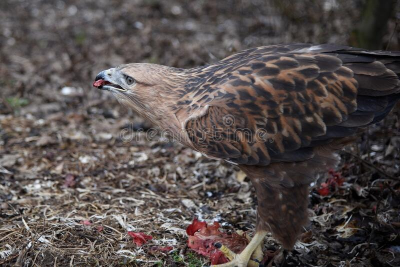 Buzzard buteo zbliżył ptaka portretowego zdjęcia royalty free