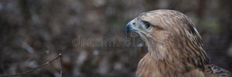 Buzzard buteo zbliżył ptaka portretowego zdjęcia stock