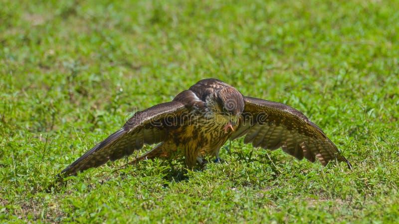 Buzzard che mangia una preda, nel prato immagini stock libere da diritti