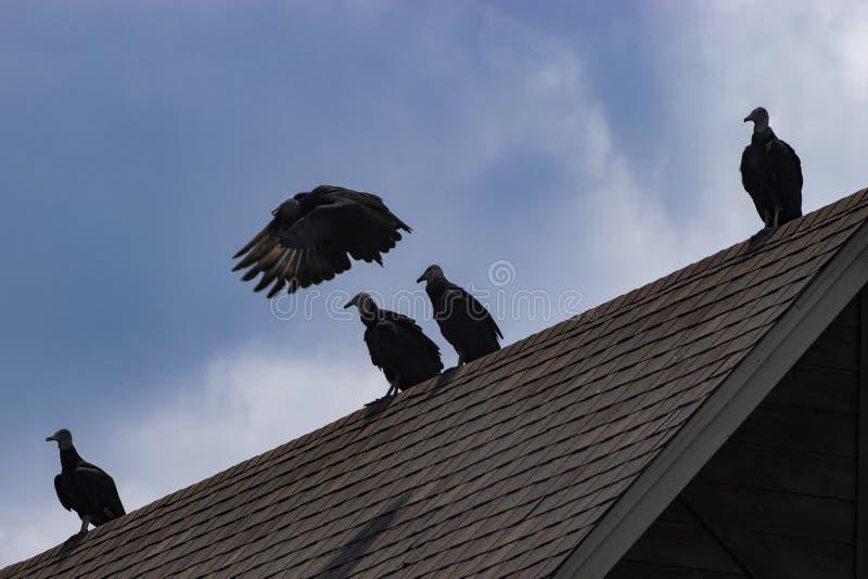 Buzzard che vola via dallo stormo sul tetto della casa immagini stock