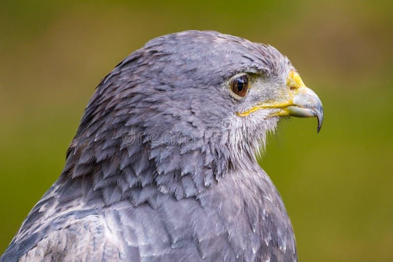 Buzzard Chested noir Eagle semblant droit photos libres de droits