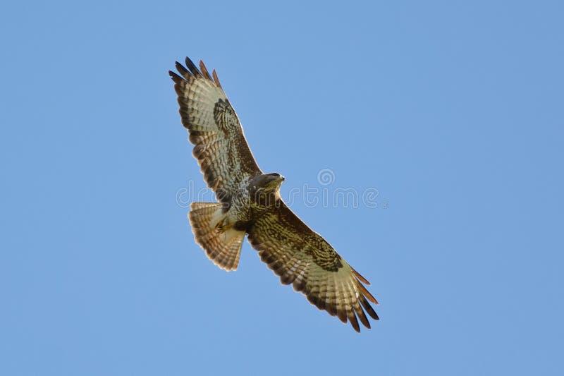 Buzzard comune in volo - buteo del Buteo - Pyrénées-Orientales, Francia fotografia stock libera da diritti