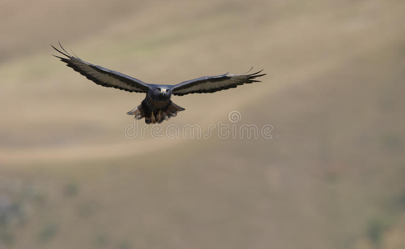 Buzzard do Jackal fotografia de stock royalty free
