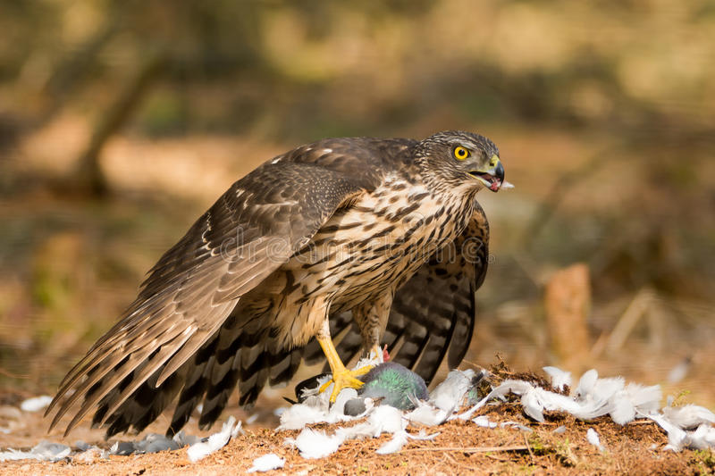 Buzzard eating prey stock images