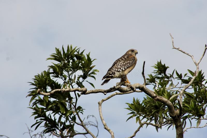 Buzzard at the Everglades royalty free stock image