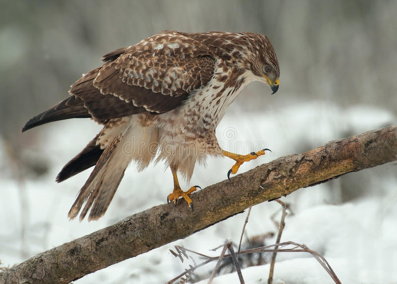 Download Buzzard on a fallen tree stock image. Image of common - 25899571