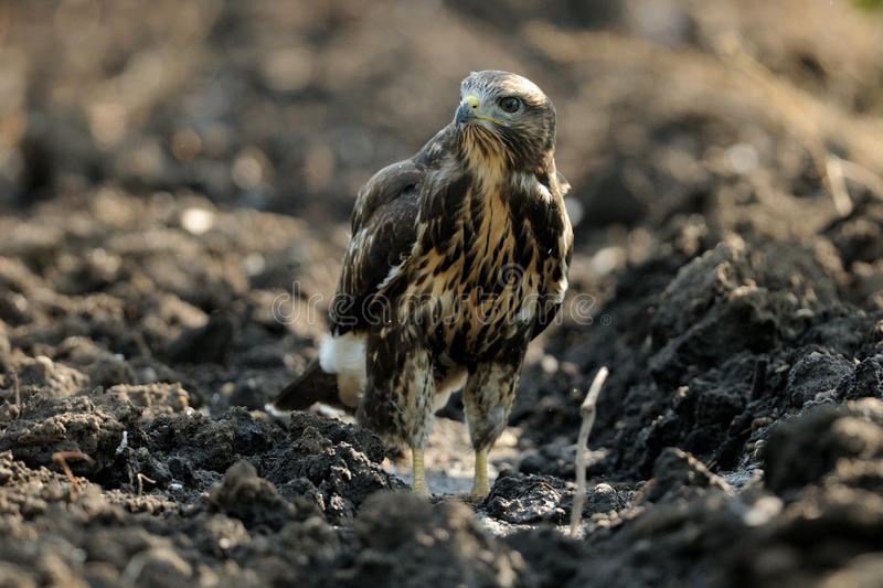 Buzzard in a Field. This young buzzard is landing in a field royalty free stock photography