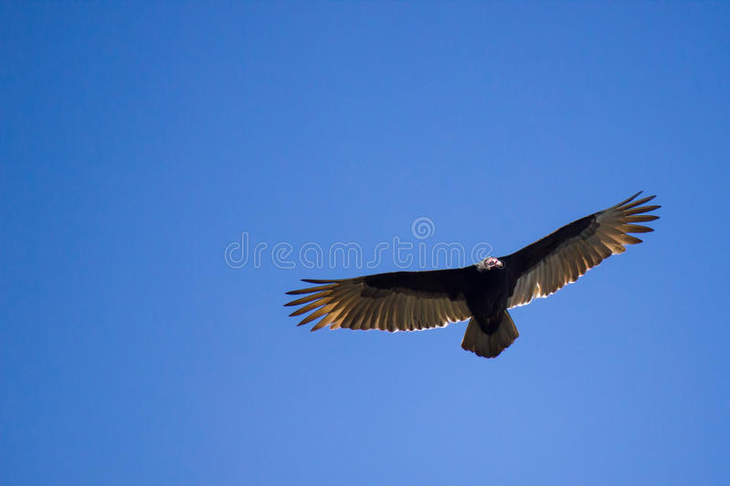 Buzzard flying in bright blue sky royalty free stock photography