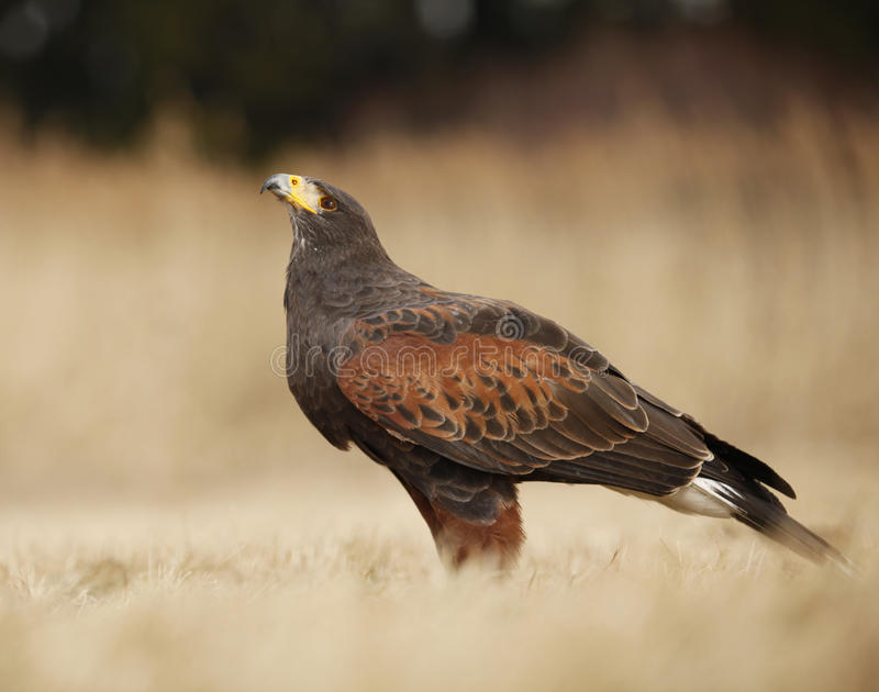 buzzard harris s стоковая фотография rf