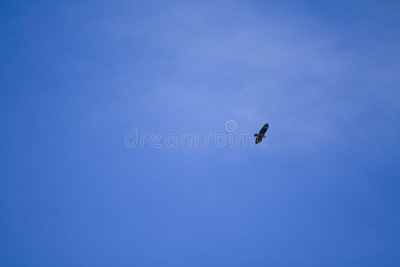 Buzzard maestoso cerca la sua preda dal cielo fotografia stock libera da diritti