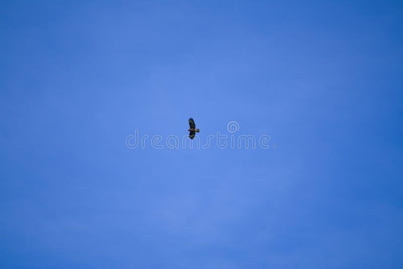 Buzzard majestueux recherche sa proie du ciel images libres de droits
