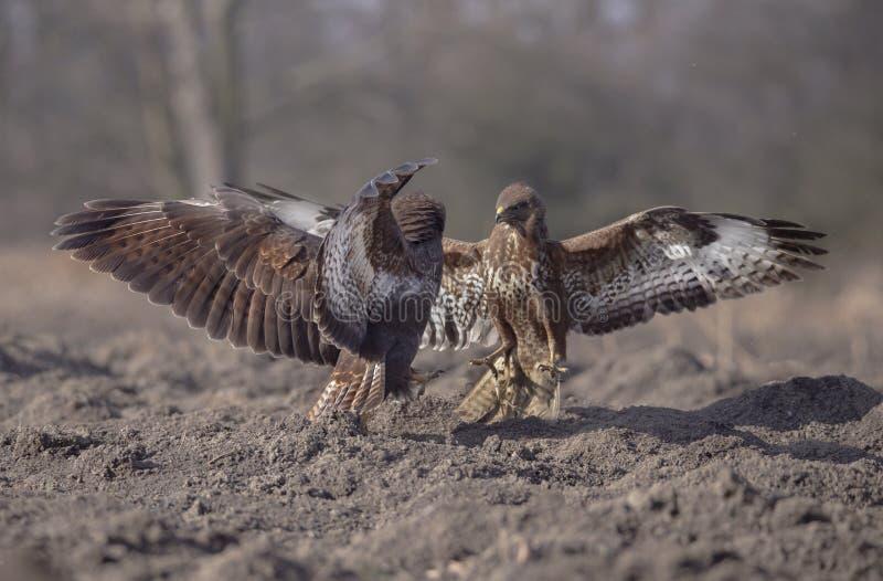 Buzzard nella lotta fotografie stock