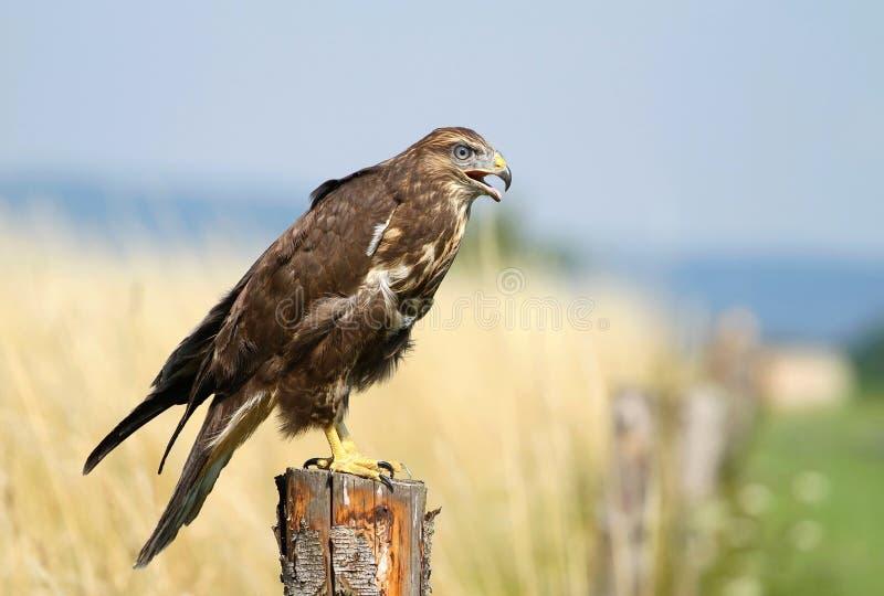 Buzzard. Nice brown buzzard on post royalty free stock photo