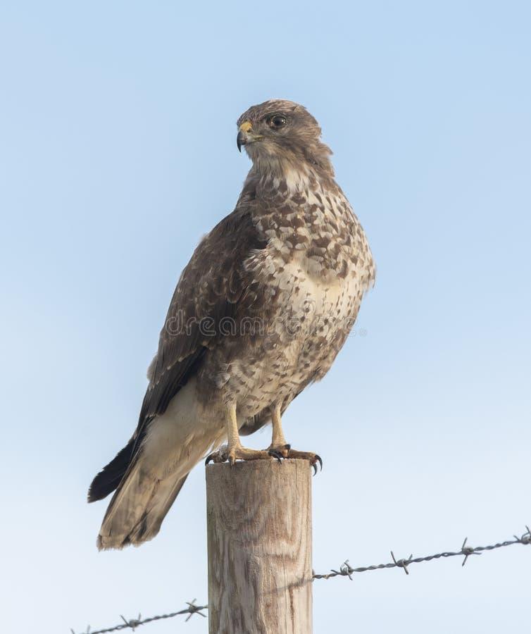 Buzzard on a post. Bird of prey royalty free stock photo