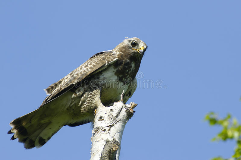 Buzzard rough-legged de Kamchatkan. fotografia de stock royalty free