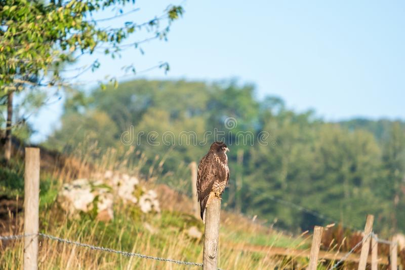 Buzzard si è appollaiato su una trave nella campagna fotografie stock