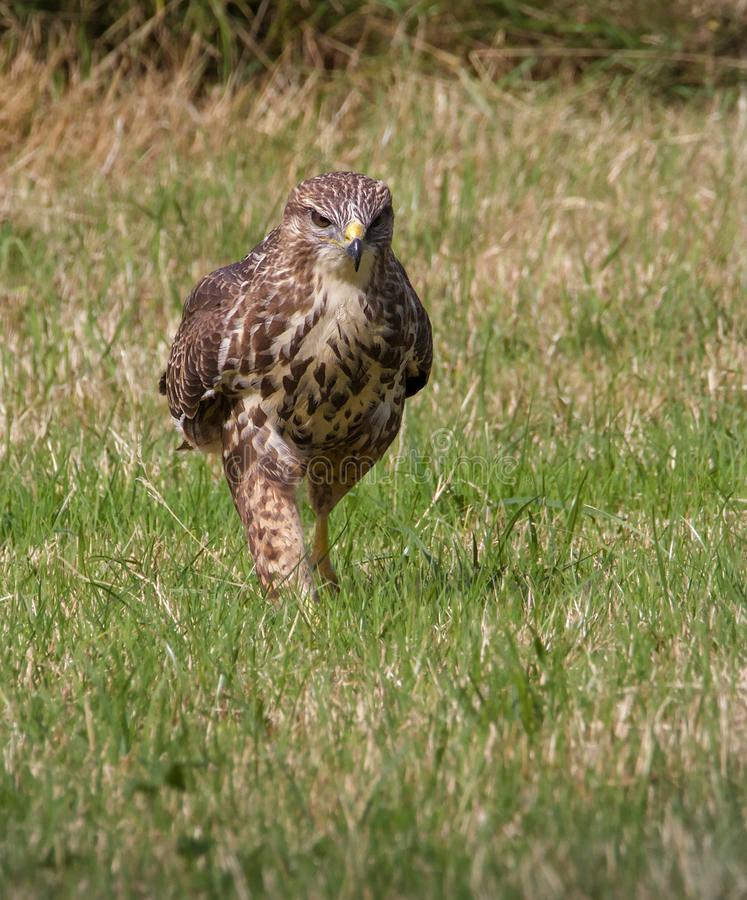 Buzzard Walking On Ground. A Buzzard Buteo buteo walking on the ground stalking its prey. Taken at Moors Valley Country Park Ringwood UK stock photo