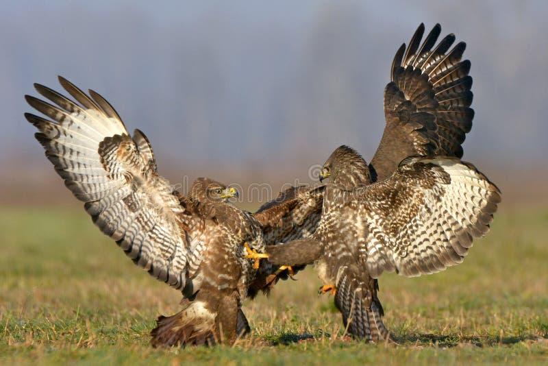 buzzards fotografia stock