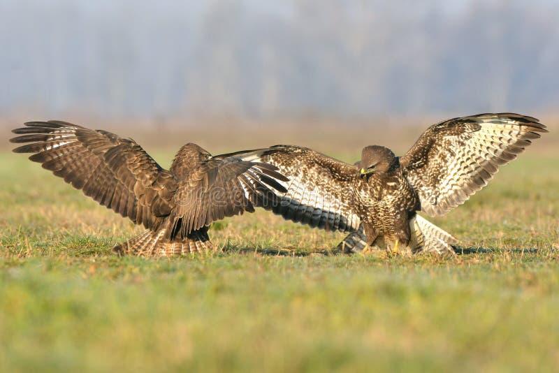 buzzards fotografia stock libera da diritti