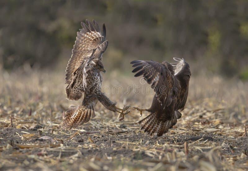 Buzzards in lotta fotografie stock libere da diritti