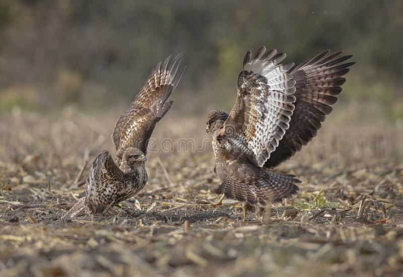 Buzzards in lotta immagine stock