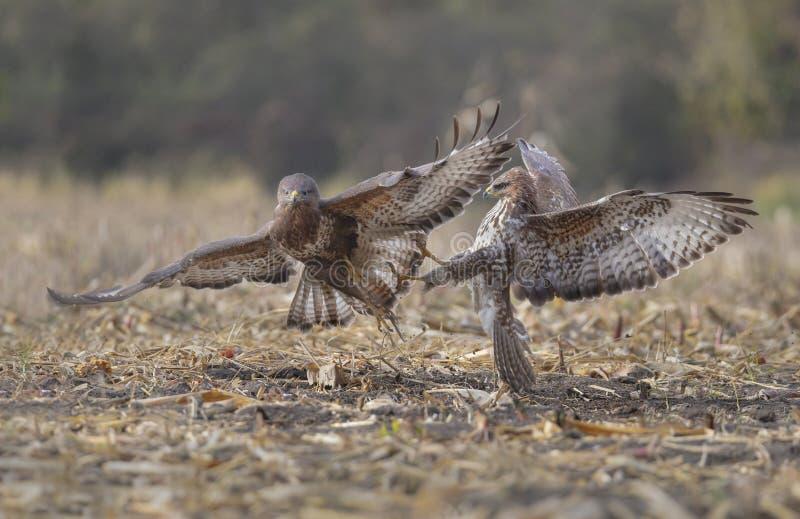 Buzzards in lotta fotografia stock libera da diritti