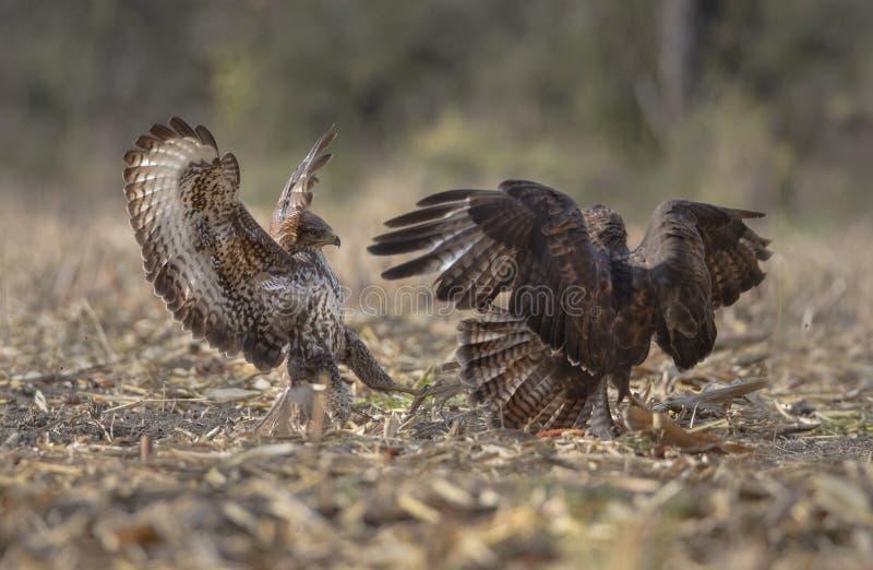 Buzzards in lotta fotografia stock