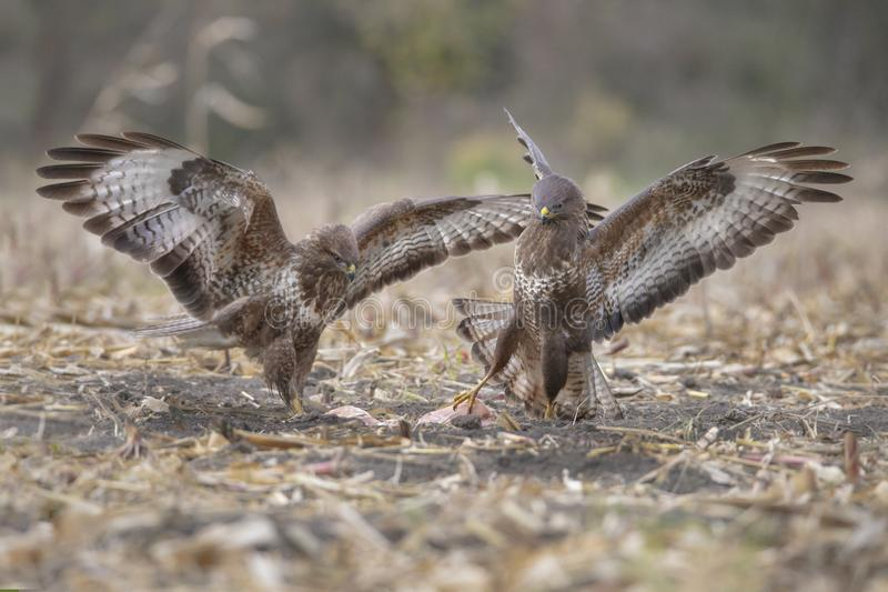 Buzzards in lotta fotografie stock