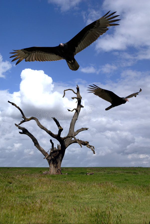 Free Buzzards Over Hanging Tree Royalty Free Stock Image - 2482836