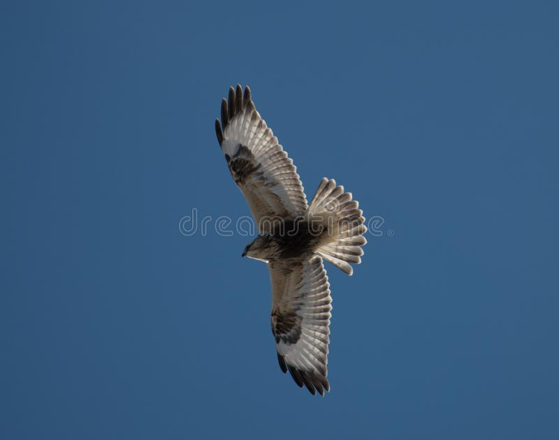 BUZZING AROUND , COMMON BUZZARD IN FLIGHT. HOVERING ABOVE ON THE HUNT FOR FOOD royalty free stock photo