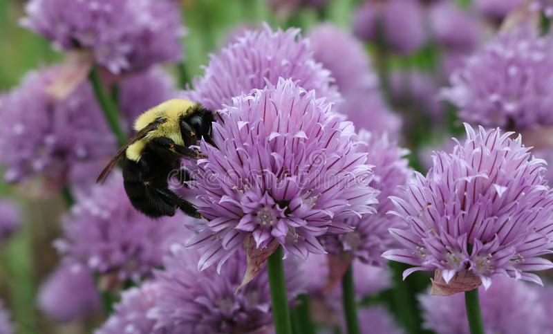 Buzzing bee and pollination of purple blossom. Closeup of Bumblebee pollinating mauve chive plant stock photos