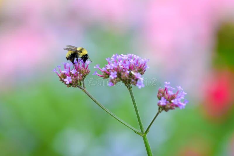 Buzzy蜂 免版税图库摄影